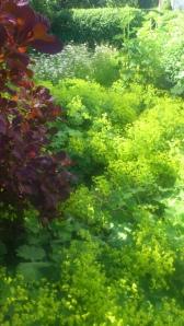 Perukbuske och daggkåpa